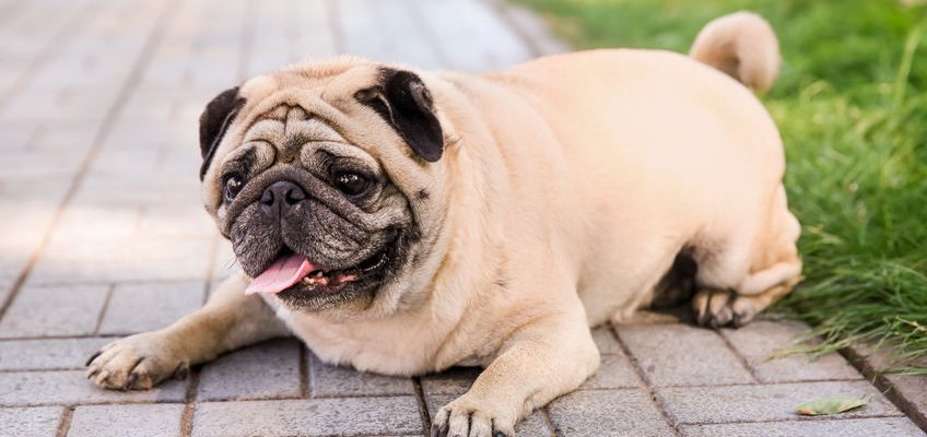 Obesity and Weight Gain in Dogs